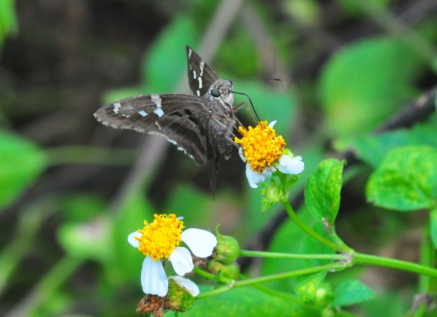 """""""Tropical Checkered Skipper Butterfly at Enchanted Forest Park"""""""