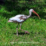 """Juvenile White Ibis at Arch Creek Memorial Park"""