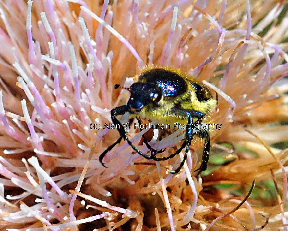 """""""Bee mimic beetle aka Hairy scarab beetle at Enchanted Forest Park, Florida"""""""