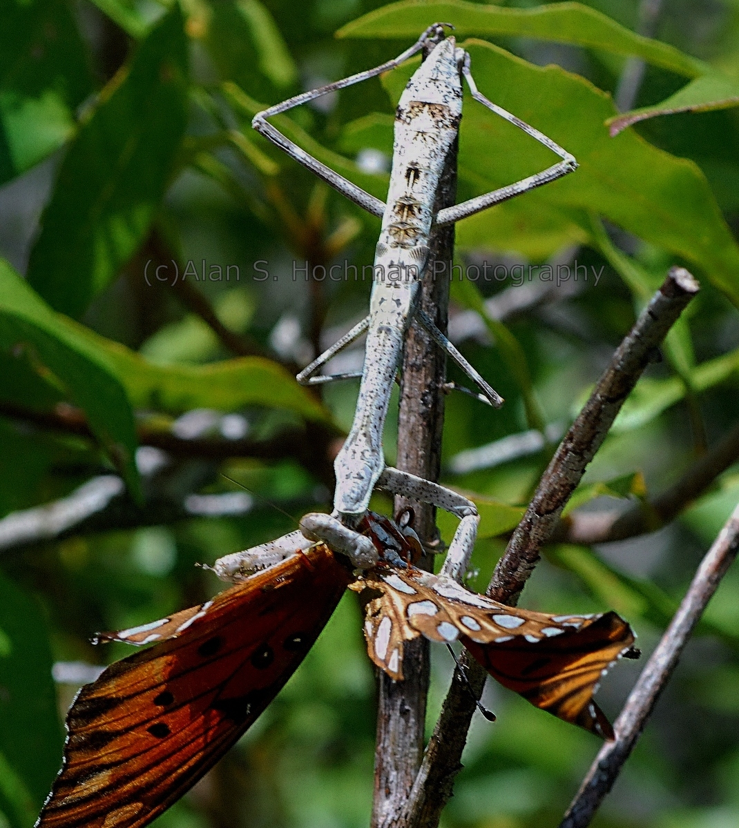 """Carolina Mantis eating Butterfly"""