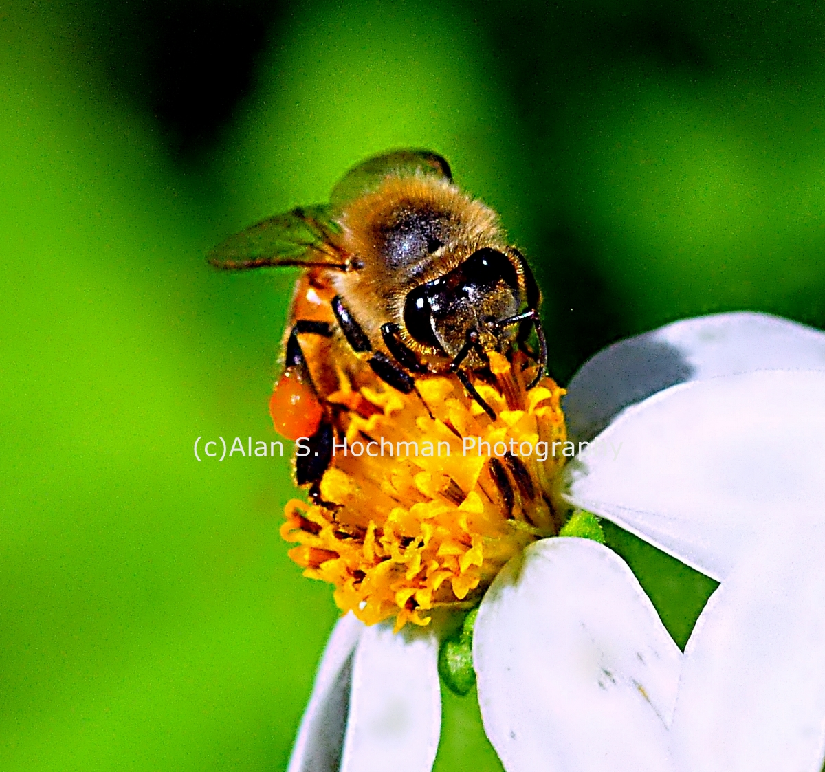 """Honey Bee at Big Cypress Wildlife Management Area"""