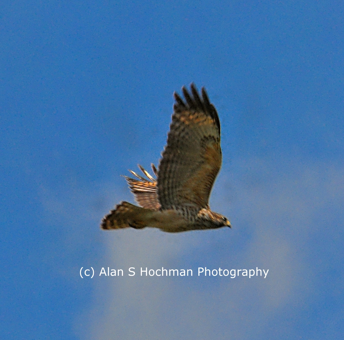 """Red Tailed Hawk in Flight"""