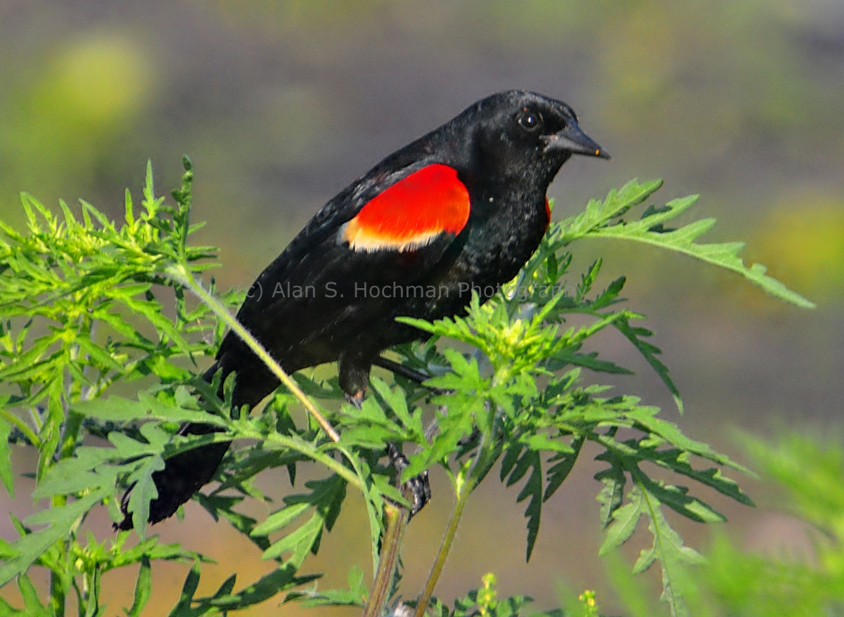"""Red winged Blackbird at the HoleyLand Wildlife Management Area in Florida"""