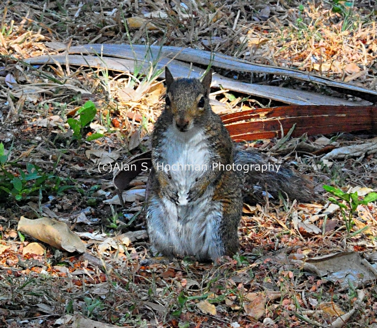 """Gray Squirrel in Arch Creek Park"""