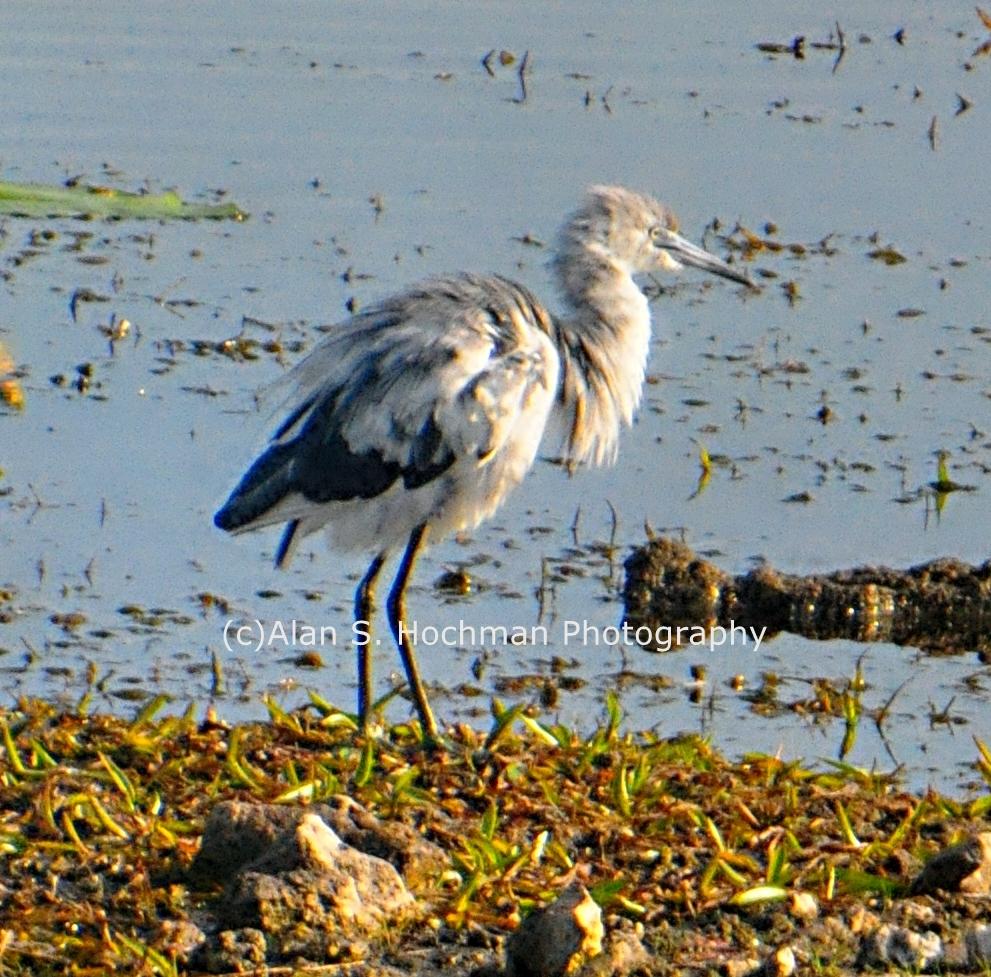 """""""Juvenile Blue Heron at HoleyLand Wildlife Management Area"""""""