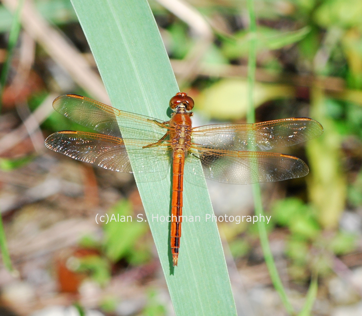 """Golden-winged Skimmer Dragonfly"""