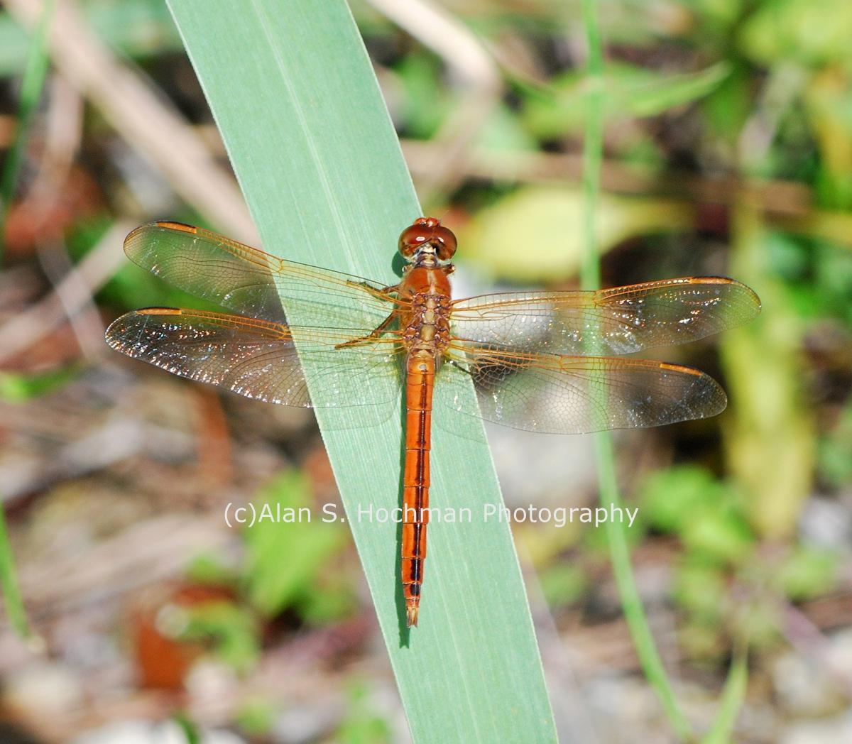 """Golden-winged Skimmer Dragonfly"""