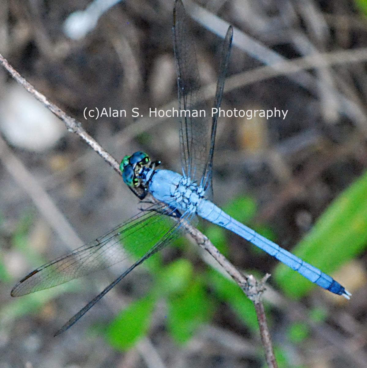 """Great Blue Skimmer Dragonfly at Big Cypress Wildlife Management Area in Florida"""