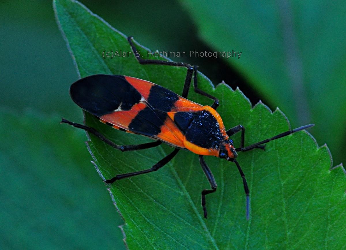 """Milkweed Bug at Enchanted Forest Park in North Miami, Florida"""