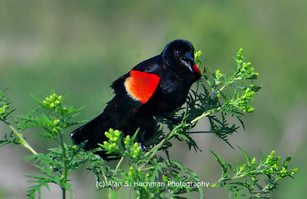 """Red winged Blackbird at HoleyLand WMA"""