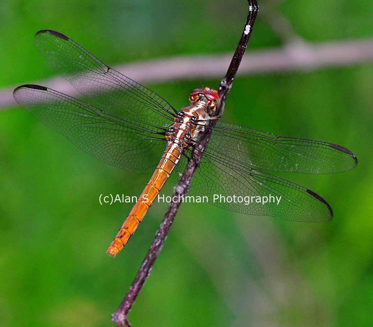 """Scarlet Skimmer Dragonfly at Big Cypress Wildlife Management Area in Florida"""