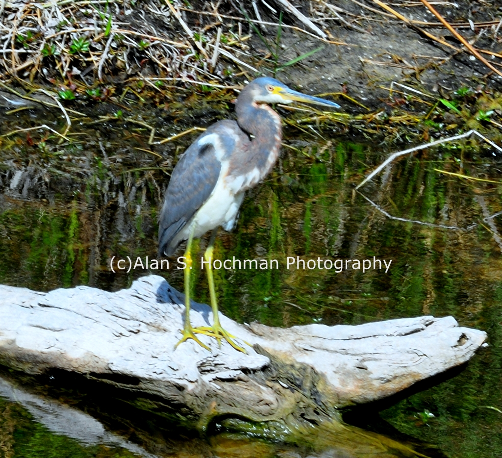 """Tricolor Heron at the HoleyLand Wildlife Management Area in Florida"""