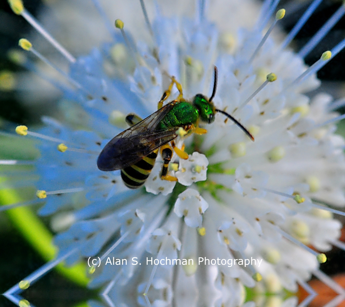"""Wasp with green metallic body"""
