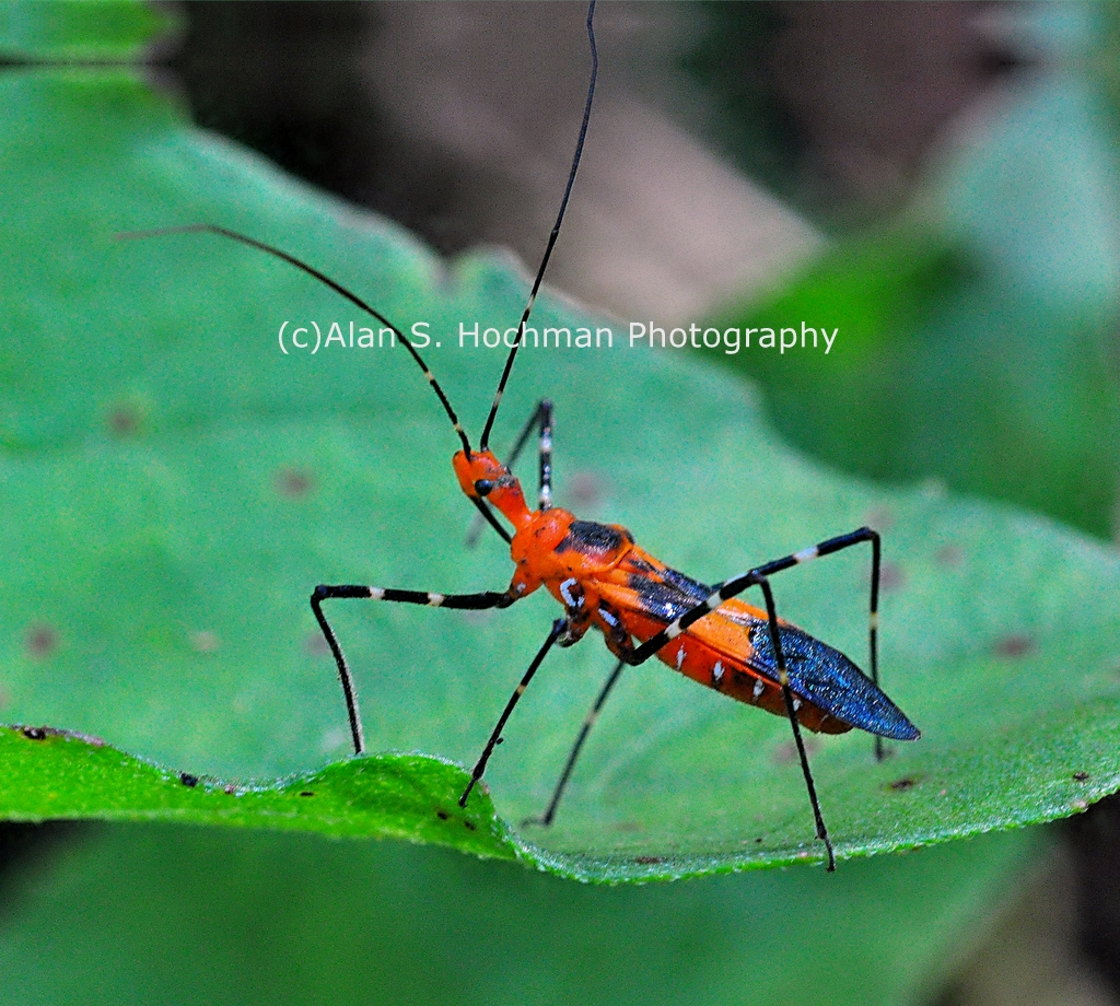 """Assassin Bug at Arch Creek Memorial Park"""