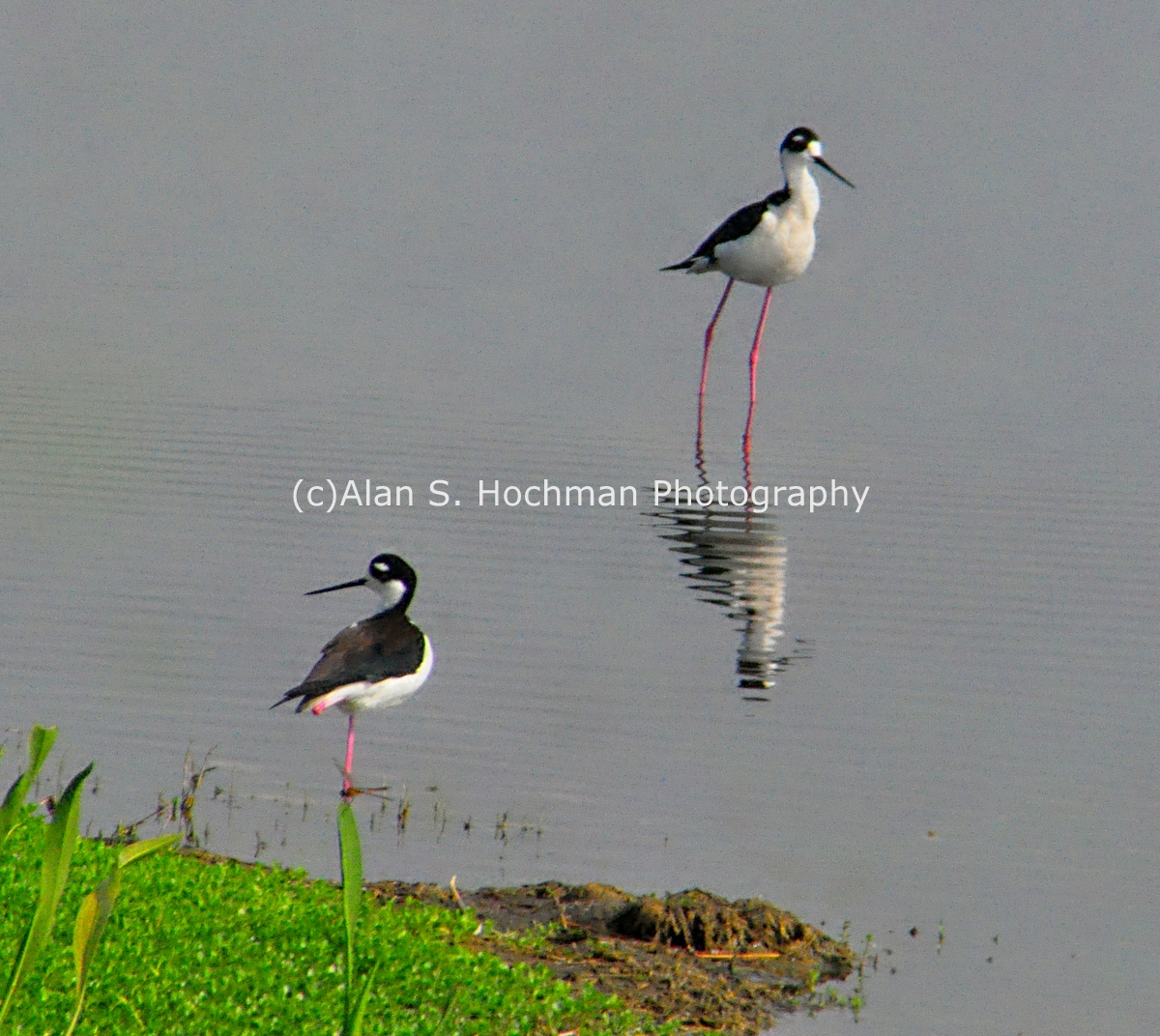 """Black necked Stilts at HoleyLand WMA"""