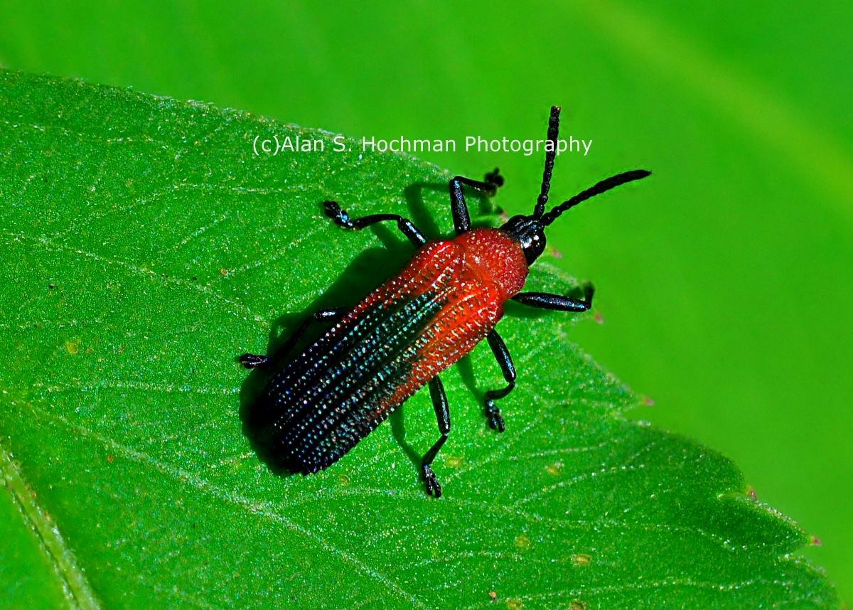 """Bloody Net-winged Beetle at Enchanted Forest Park"""