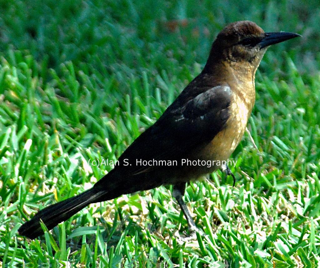 """""""Female Boat-tailed Grackle at HoleyLand Wildlife Management Area"""""""