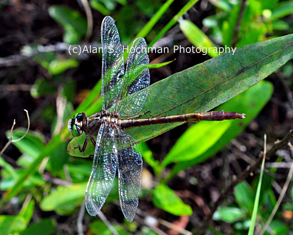 """Regal Darner Dragonfly at Arch Creek Memorial Park"""