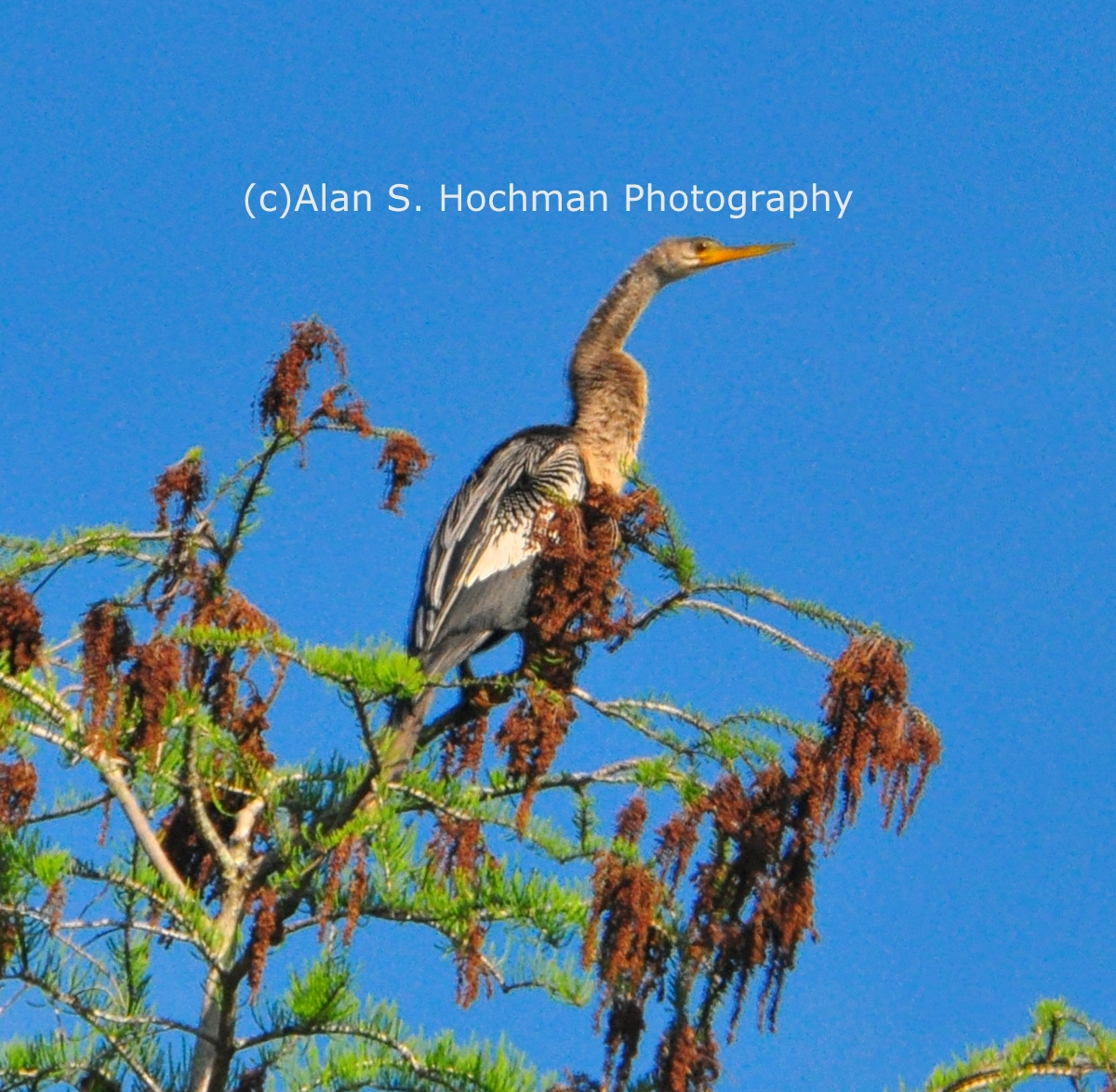 """Anhinga atop Tree at Big Cypress Wildlife Management Area"""