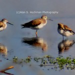 """Sandpipers at the Holey Land Wildlife Management Area"""