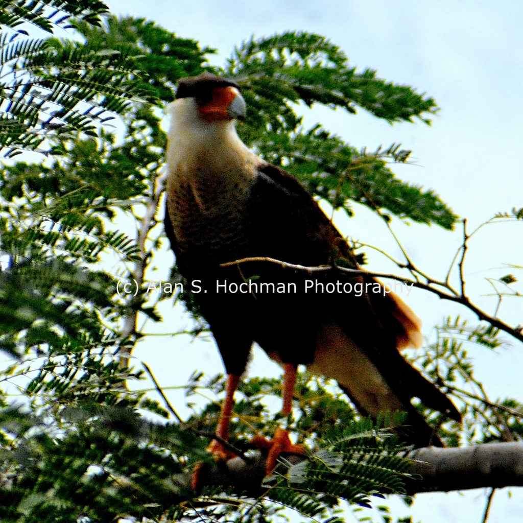 """Crested Caracara at Dinner Island Ranch Wildlife Management Area"""