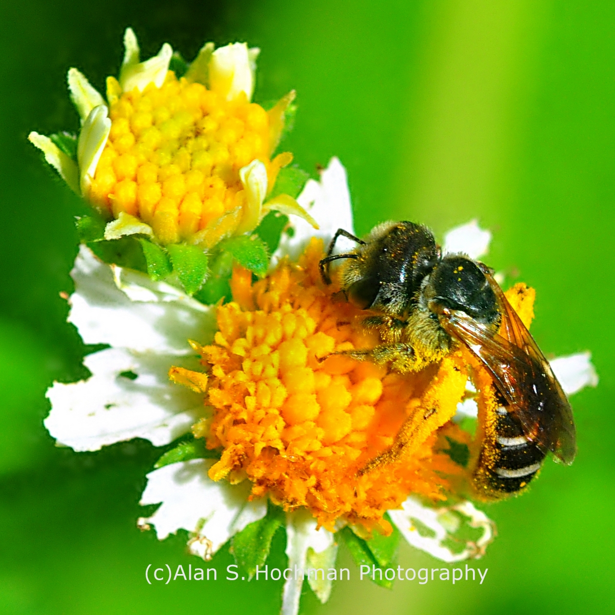 """IHoneybee Pollination at Oleta River State Park"""