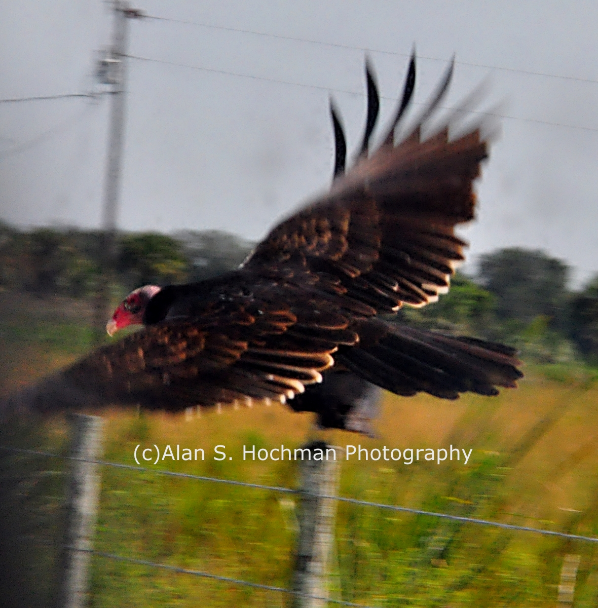 """Turkey Vulture in Flight at Dinner Island Ranch"""