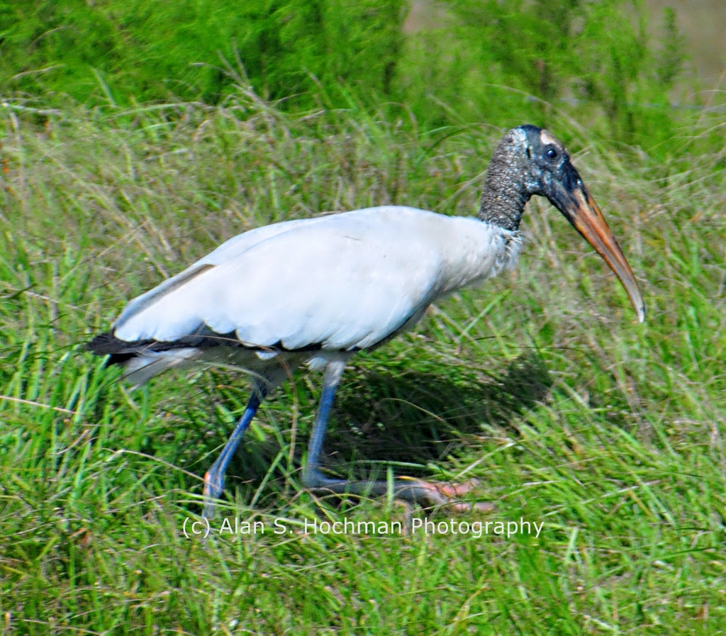 """Wood Stork at Dinner Island Ranch Wildlife Management Area"""