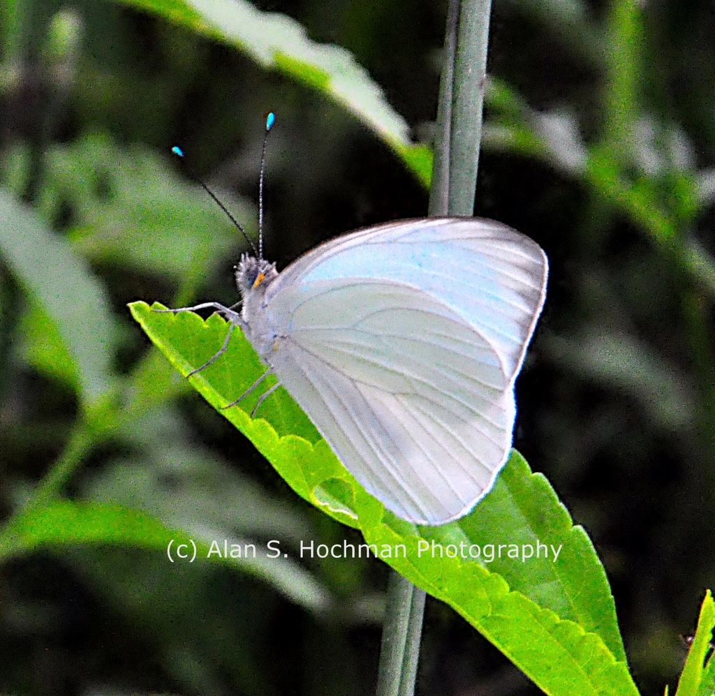 """Great Southern White Butterfly"""