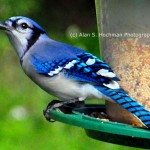 """Blue Jay on Bird Feeder"""