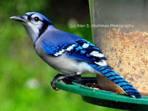 """Blue Jay on Bird Feeder"""