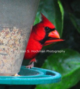 """Male Cardinal at Bird Feeder"""