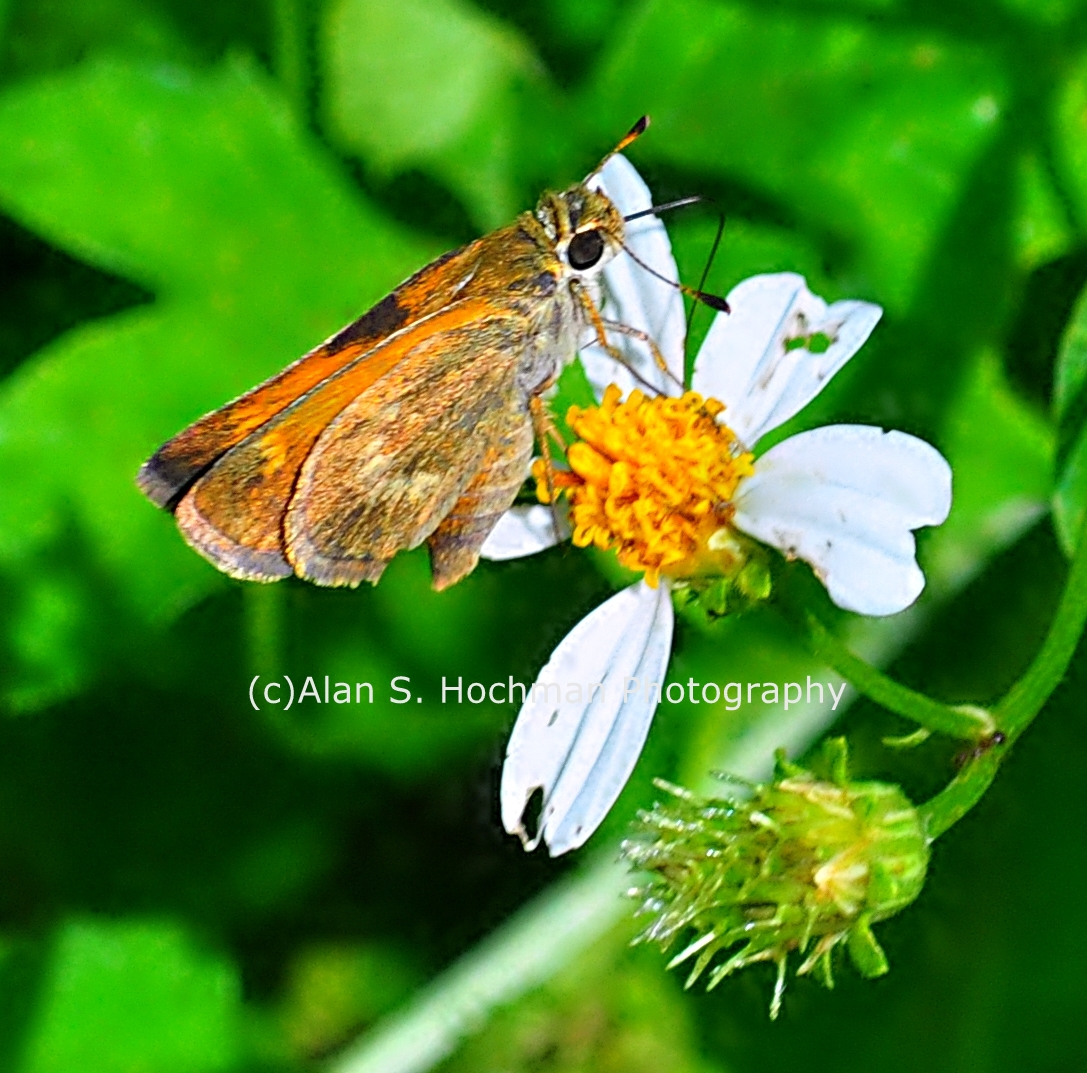 """Fiery Skipper Butterfly at Oleta State Park"""