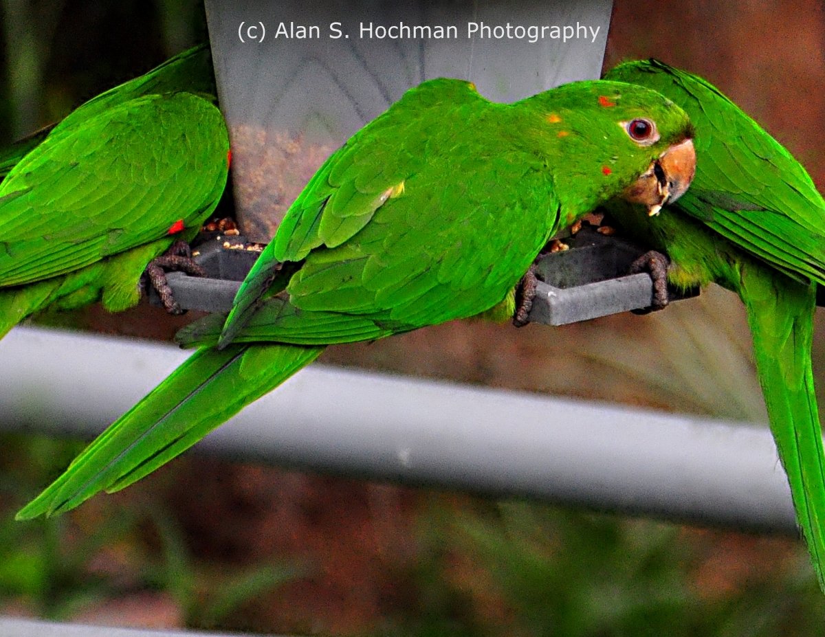 """Parrots at Bird Feeder in my Backyard"""