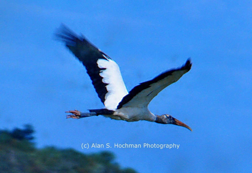 """Wood Stork in Flight ay Holey Land Woldlife Management Area"""