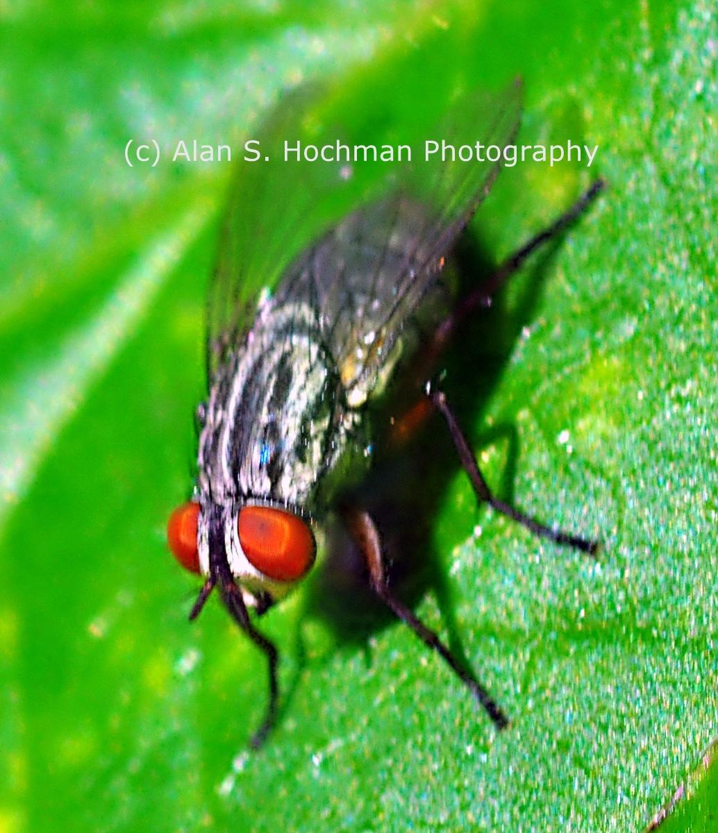 """House Fly at Oletat River State Park"""