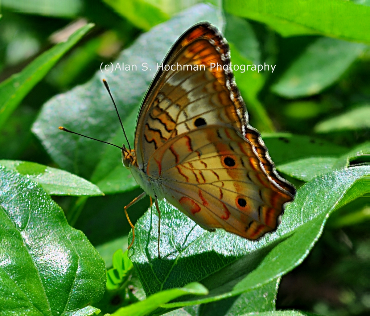 """White Peacock Butterfly at Oleta River State Park"""