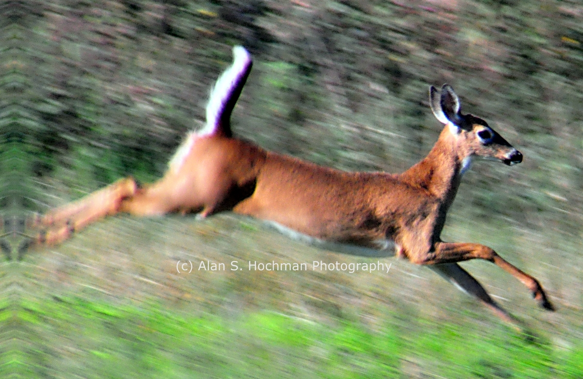 """Young White-tail Deer at Dinner Island Ranch"""
