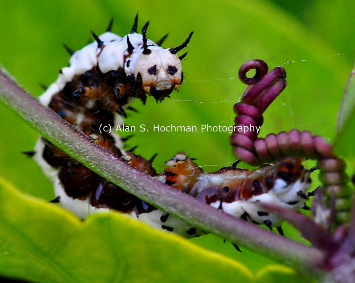 """""""Zebra Longwing Butterfly Caterpillar at Enchanted Forest Park"""""""