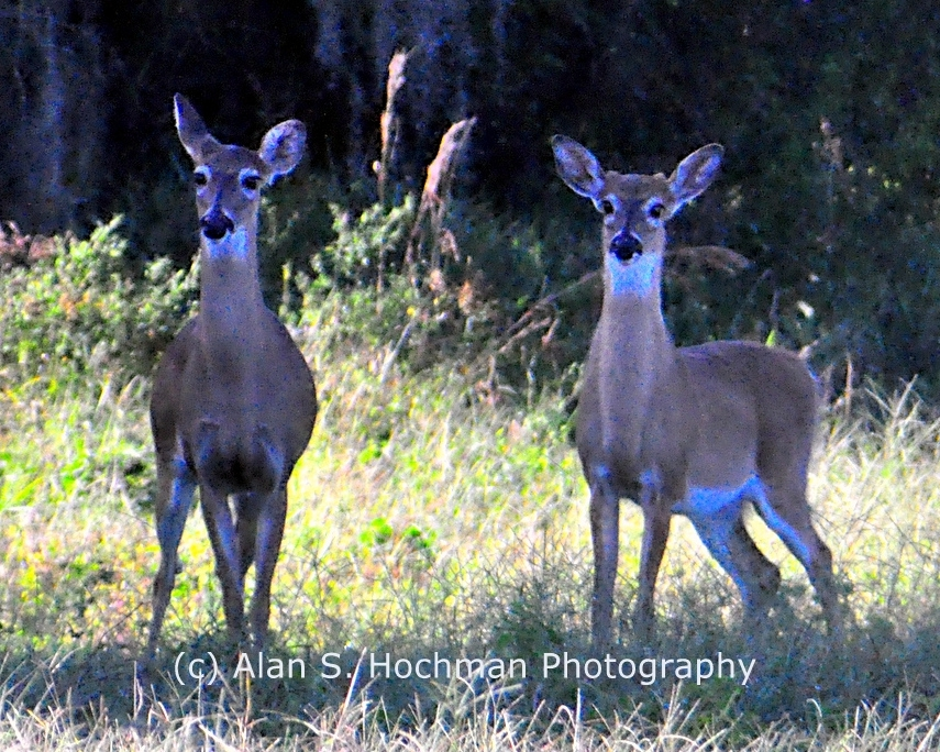 """Young White tail Deer at Dinner Island Ranch W.M.A."""