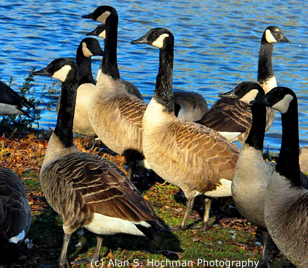 """Canadian Geese at Enchanted Forest Park in North Miami, Florida"""