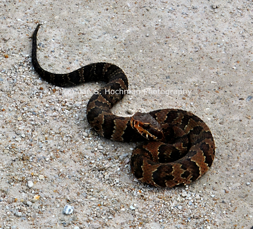 """""""Cottonmouth Snake at the L-28 Levee in Big Cypress WMA"""""""