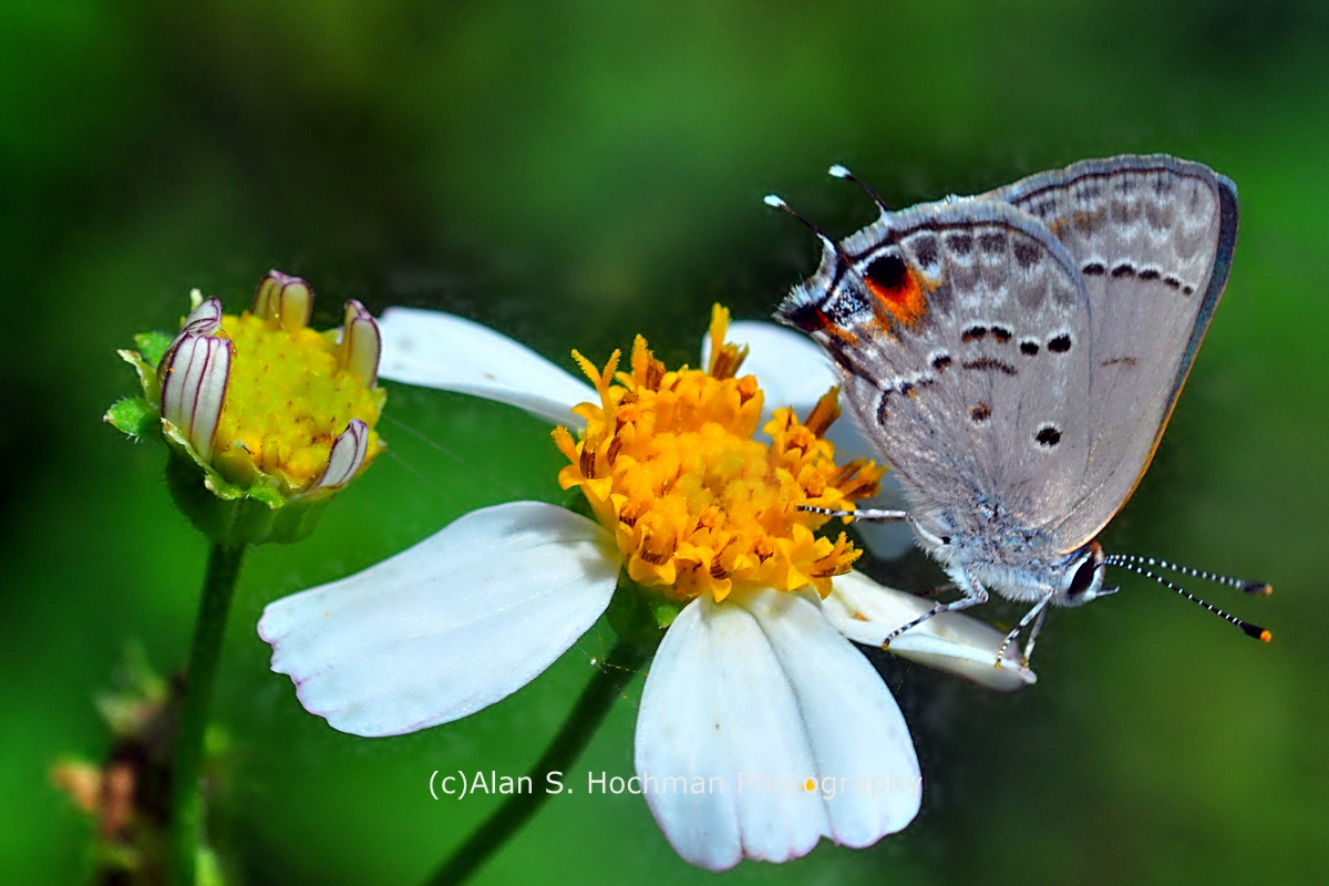"""Mallow scrub Hairstreak Butterfly at Enchanted Forest Park"""
