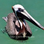 """Pelican in the Florida Keys in Islamorada"""