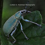 """Asian Grey Weevil at Arch Creek Memorial Park"""
