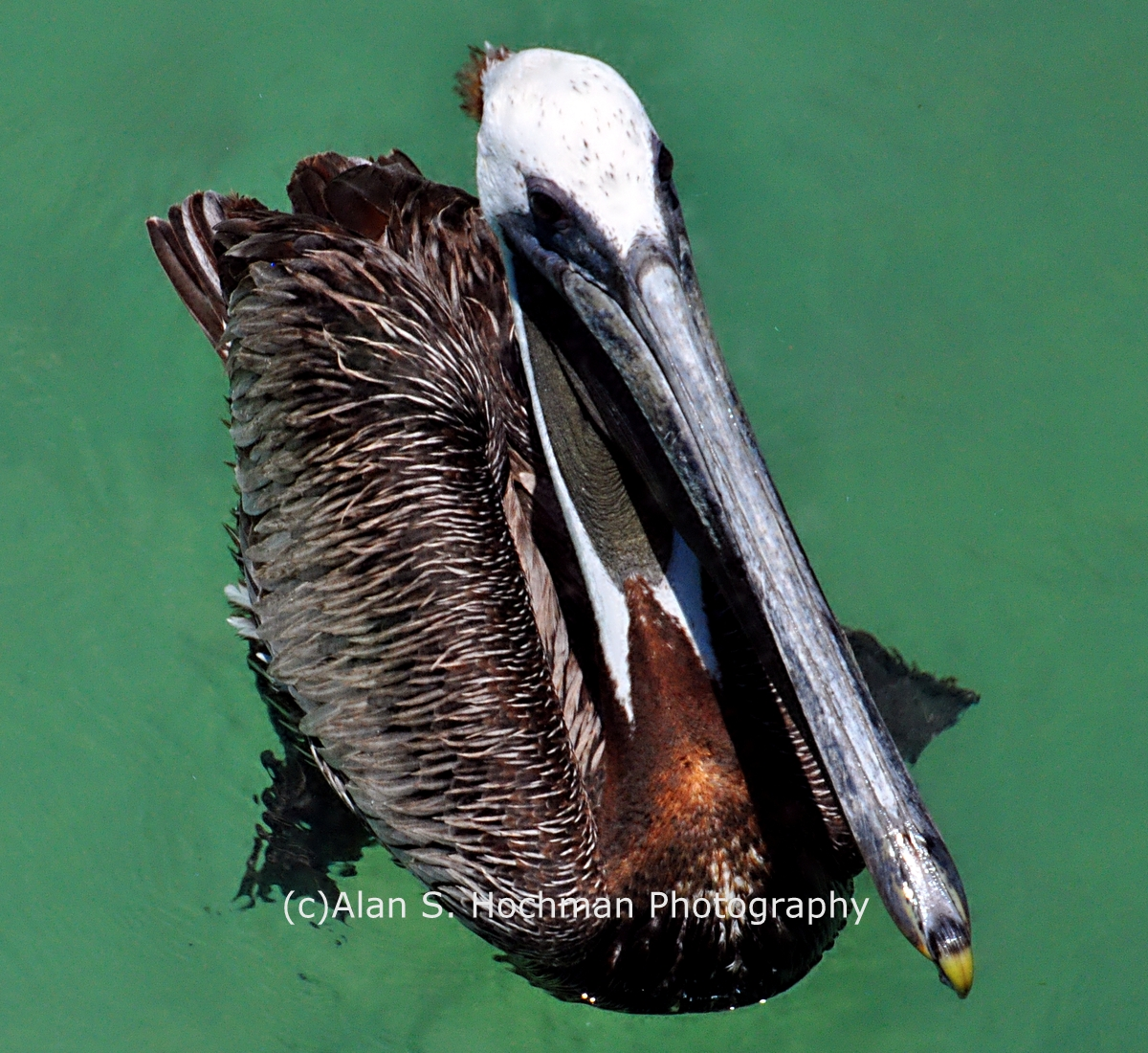 """Brown Pelican at Islamorada, Florida Keys"""