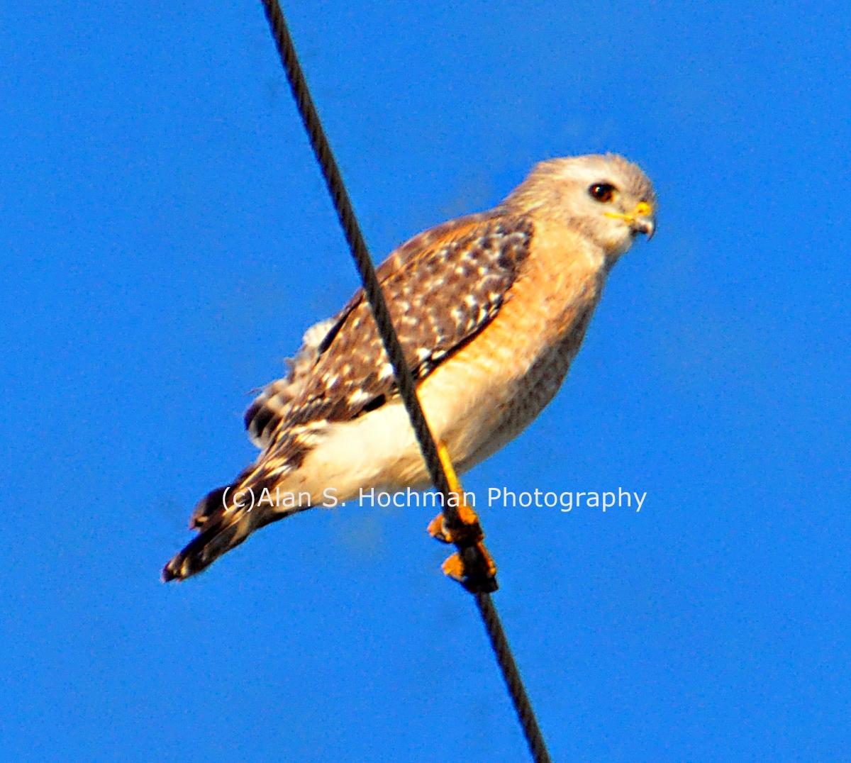 """""""Osprey (Juvenile) at HoleyLand WMA"""""""