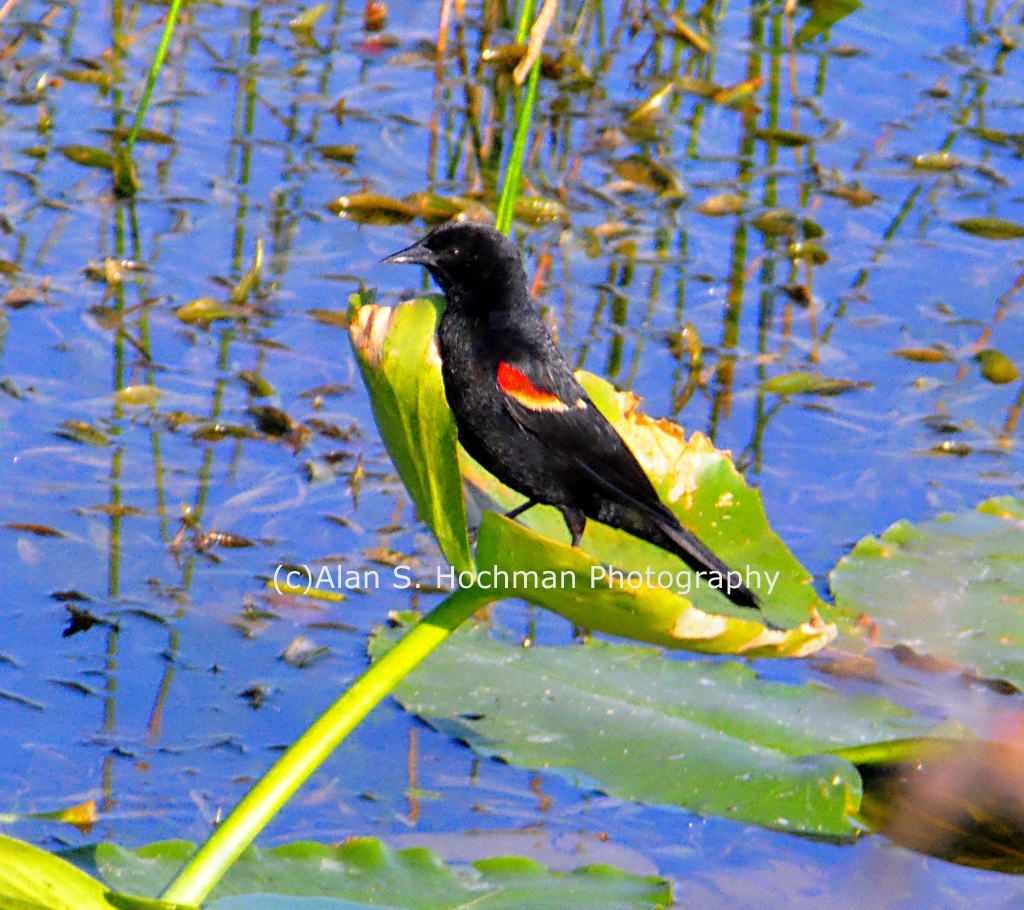 """""""Red wing Blackbird at L-28 Levee"""""""