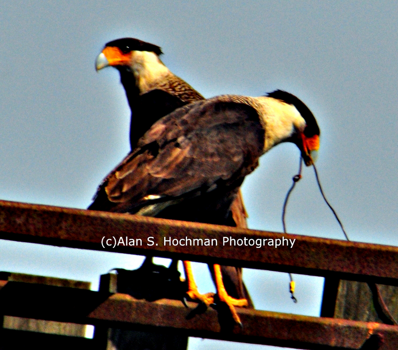 """Pair of Crested Caracara at Dinner Island Ranch WMA"""