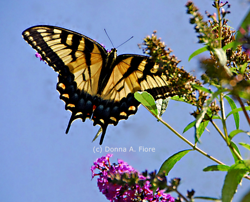 """Eastern Tiger Swallowtail Butterfly from Lopatcong, NJ"""